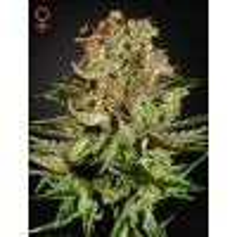 Greenhouse Seeds - Super Bud