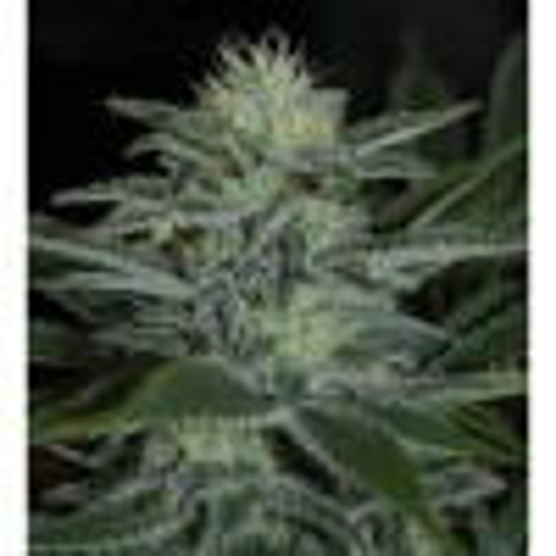 Pyramid Seeds - White Widow