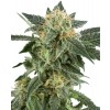 White Label Seeds - Snow Ryder Automatic (Feminisiert)