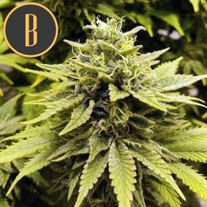 BC Diesel (Feminisiert) - 6 Stück