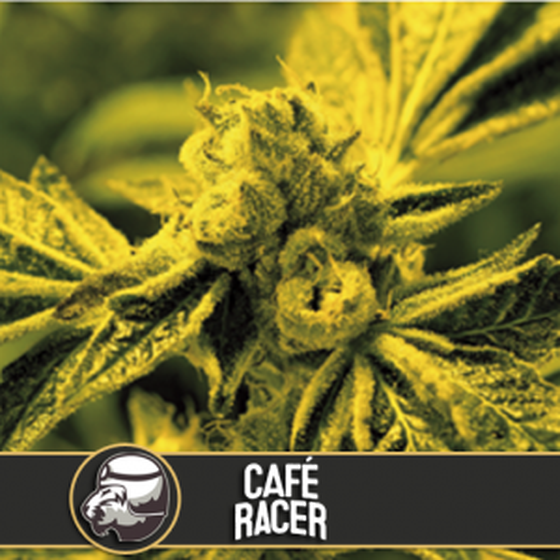 Cafe Racer (Feminisiert) - 6 Stück