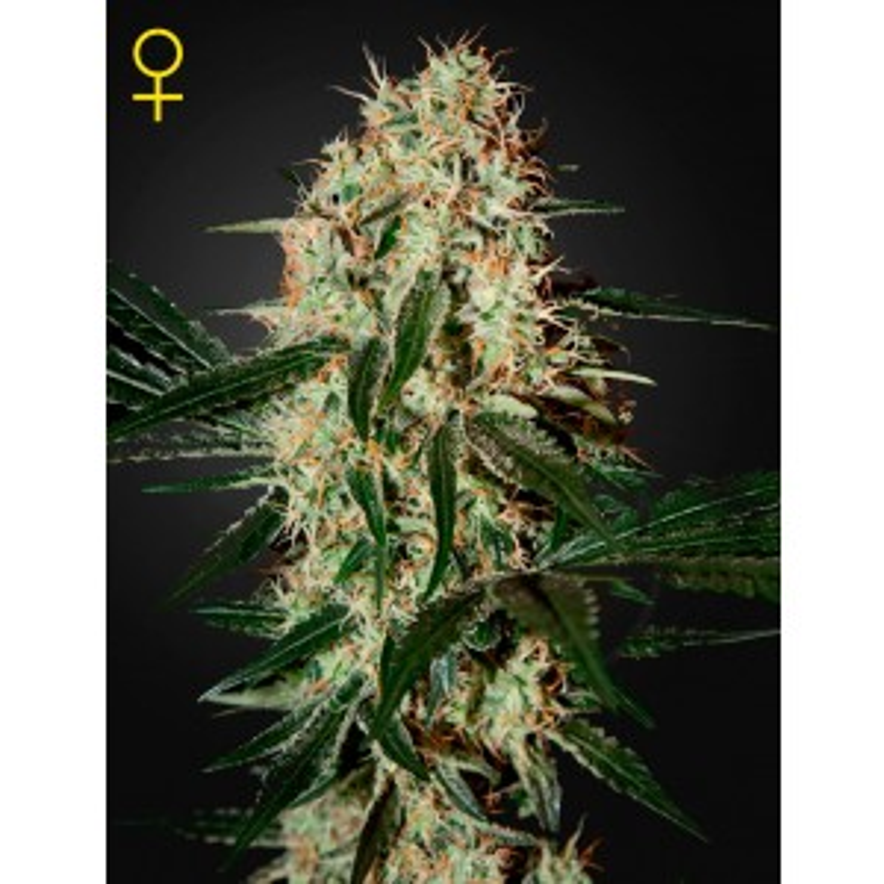 Greenhouse Seeds - Arjan's Haze #3