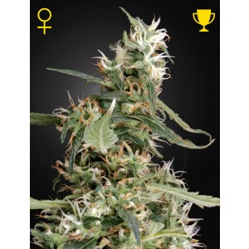 Greenhouse Seeds - Arjan's Ultra Haze #1