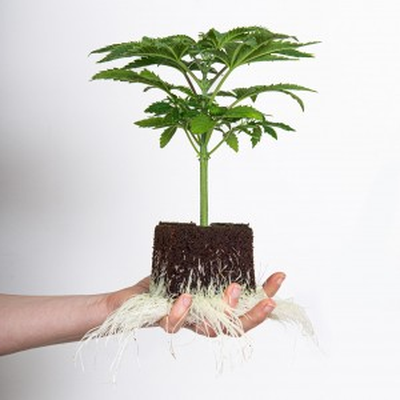 Hanfpflanze Zkittlez