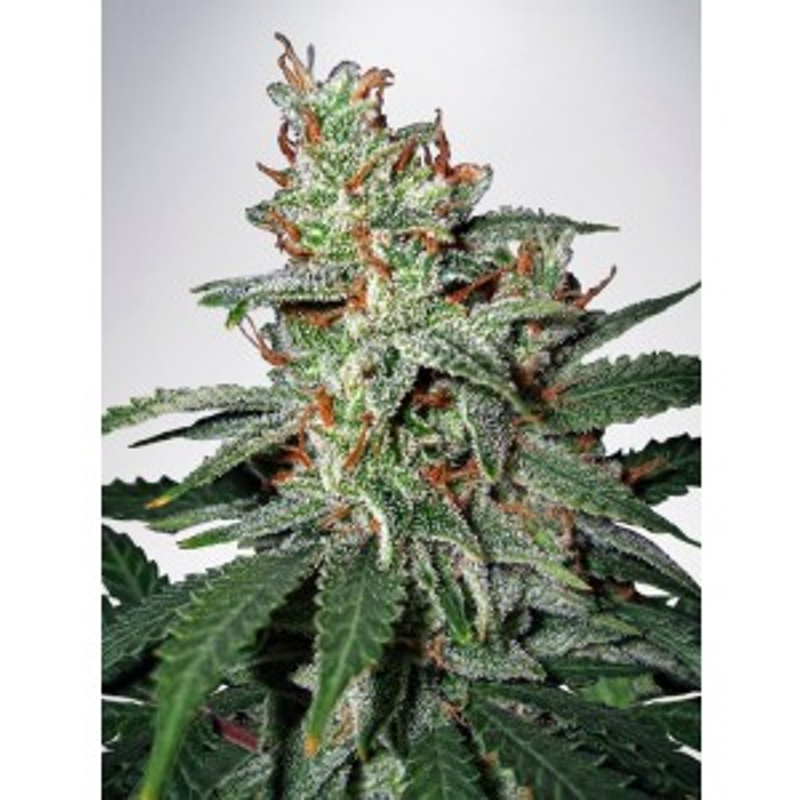 Ministry of Cannabis - Big Bud XXL