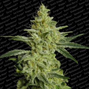 Paradise Seeds - Allkush