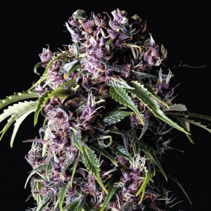 Pyramid Seeds - Auto Purple