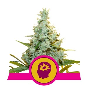 Royal Queen Seeds - Blue Mistic