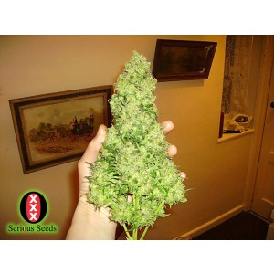 Serious Seeds - White Russian