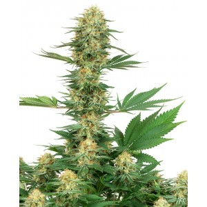 Greenhouse Seed - Super Lemon Haze CBD (Feminisiert)
