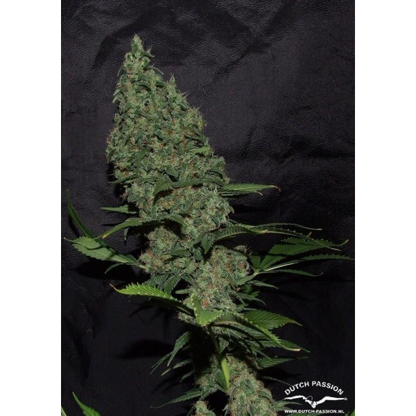 Dutch Passion - White Widow X The Ultimate