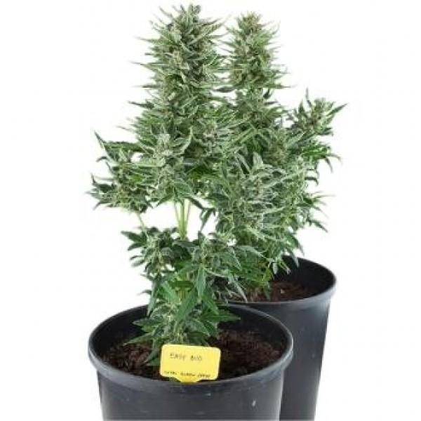 Royal Queen Seeds - Easy Bud