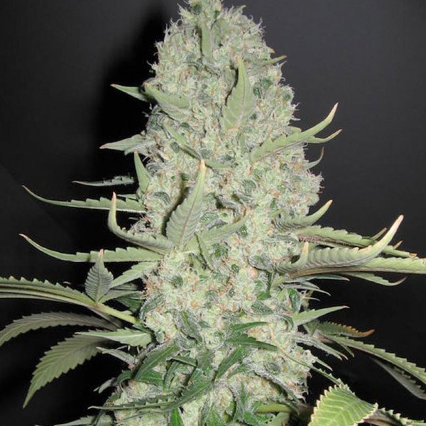 Female Seeds - White Widow x Big Bud