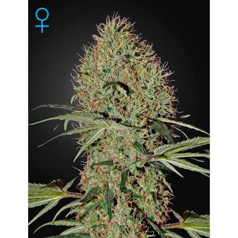 Greenhouse Seeds - Super Bud Autoflowering (Feminisiert)
