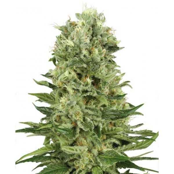 Sensi Seeds - Skunk Automatic