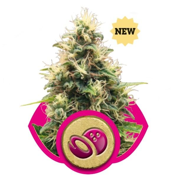 Royal Queen Seeds - Somango XL (feminisiert)