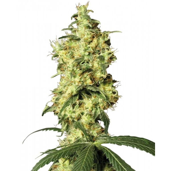 White Label Seeds - White Widow Automatic (Feminisiert)