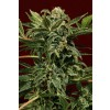 Exotic Seeds - Russian Automatic