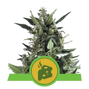Royal Queen Seeds - Blue Cheese Automatic