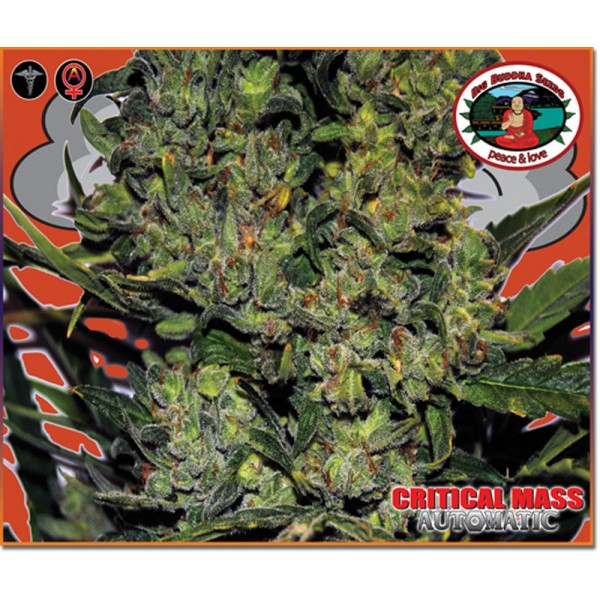 Big Buddha Seeds Critical Mass Auto (feminisiert)