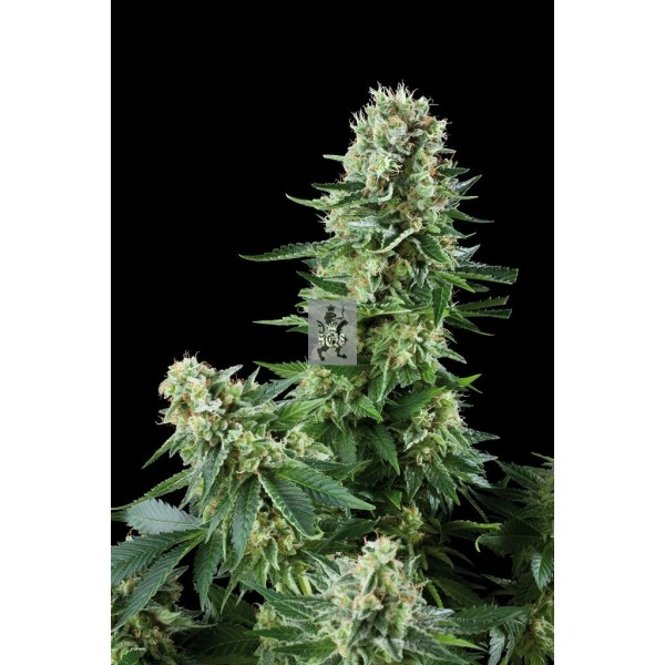 Royal Queen Seeds - White Widow