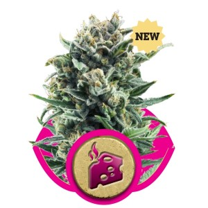 Royal Queen Seeds - Royal Critical Automatic