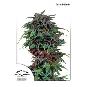 Dutch Passion - Durban Poison