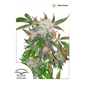 Dutch Passion - White Widow